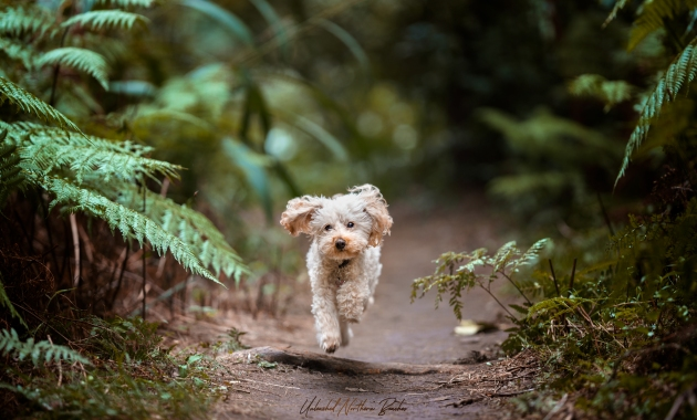 photo of dog running taken by Unleashed Northern Beaches